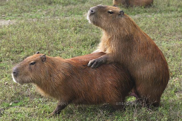 Cabiai or Capybara mating Hydrochaeris hydrochaeris. S. America